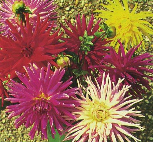 Il vous suffit de graines de fleurs???Dahlia Cactus M?lange fleurie???28?Graines
