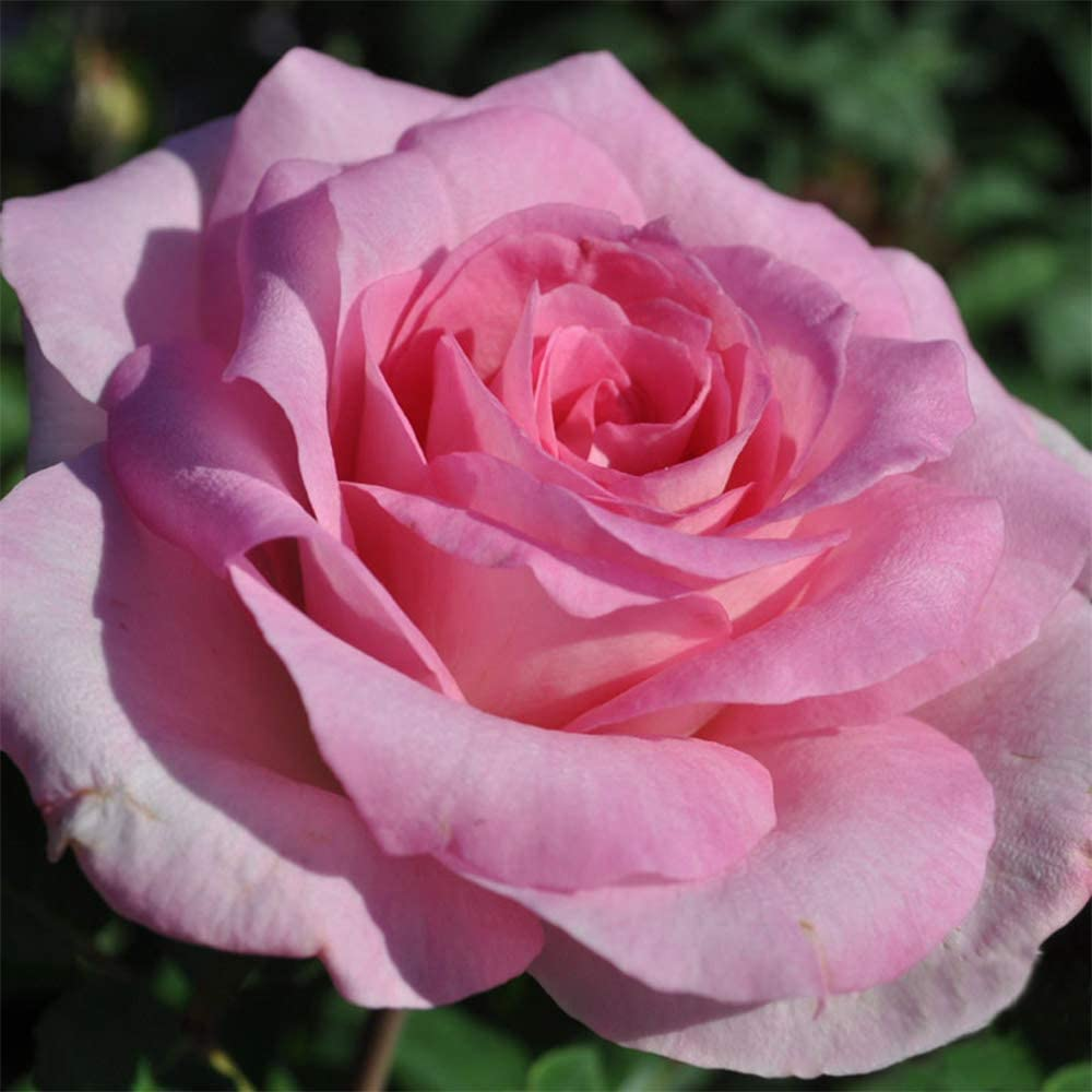 Own-Root One Gallon Beverly Hybrid Elegant Heirloom Roses by New mail order Rose Tea