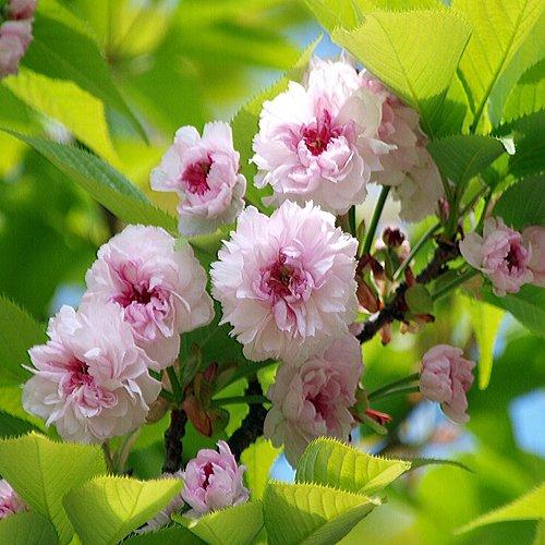桜(サクラ)苗木 兼六園菊桜