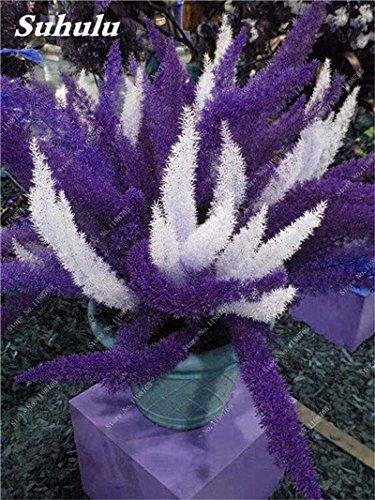 Couleur rares sétaire Seeds 60 Pcs sétaire Ferns Bonsai Balcon vivace fleur Plantation intérieur Plantes ornementales Lanscape Semences à gazon