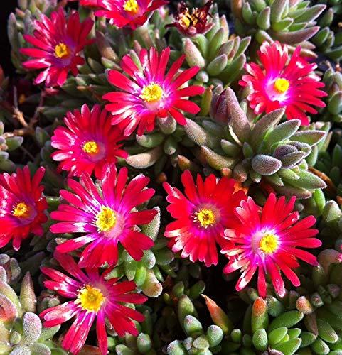 Potseed 30 + Delosperma Karminrot/EIS-Anlage Bodenbedeckung Perennial Blumensamen
