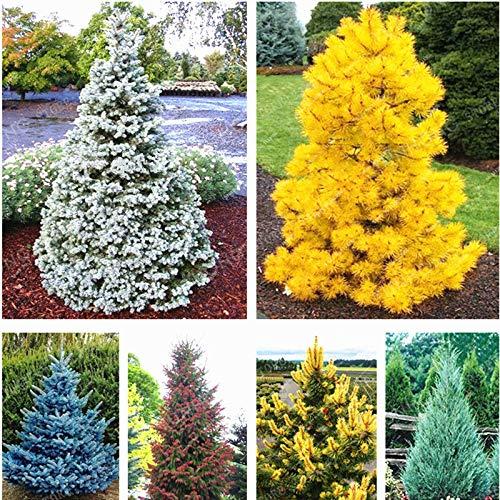 100 Samen von Mix Colorado-Tanne Pflanzen, Fichte Picea Baum Topf