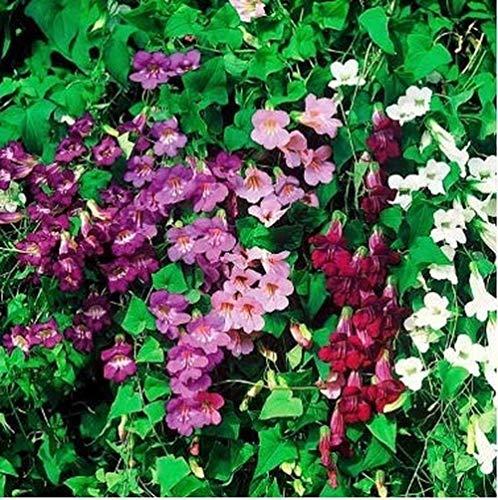 ASHENGTAI- Kletterndes Löwenmäulchensamen Blumensamen Mischung Bonsai Samen Antirrhinum Majus Snapdragon Pflanzensamen winterhart mehrjährig (30pcs,4)