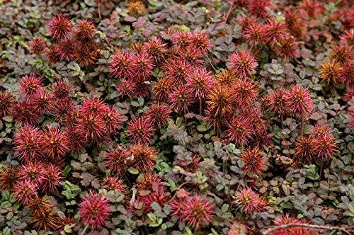 10 x Acaena microphylla. 'Kupferteppich' (Stachelnüsschen) ab 1,49 € pro St