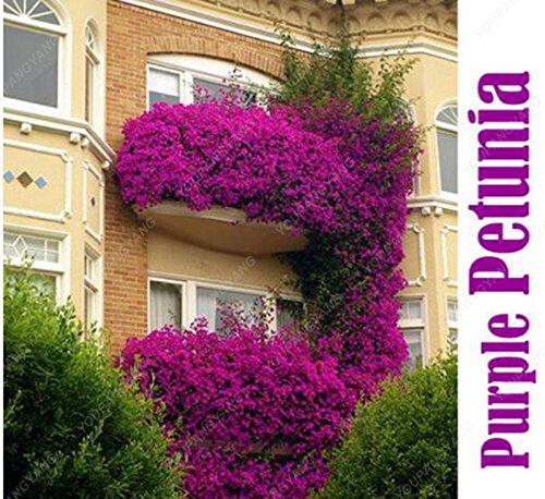 100 pcs graines de pétunia graines rares fleurs de pétunia vivaces ornementales jardin potager plantes en pot graines bonsaï fleurs noir