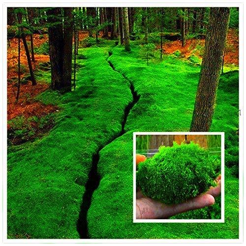 begorey Garten - Moossamen 100 Stk. Immergrün Moose Rasen Moosgarten Moos Samen Bodendecker Home DIY Bonsai Dekoration Gras Samen Topfpflanzen Samen für Garten, Wiesen (100 Stk, 1)