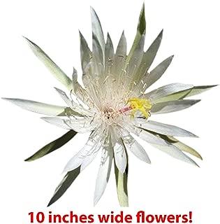 queen of the night cactus bloom