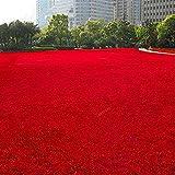 Jiacheng29 Lot de 500 graines d'herbe vivaces pour jardin de football, Graines, Rouge, Grass Seeds