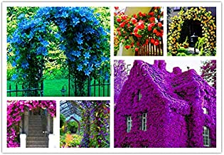 SVI 100 PCS Fresh Aubrieta Cascade Flower Seeds for Planting Mixed