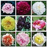 Bulbos De Peonía,Mundialmente Famoso,Se Puede Regalar A Amigos,Exquisitas Flores Cortadas,Hacer Feliz A La Gente-2 Bulbos
