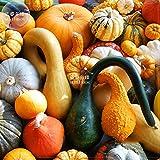 SEMI PLAT FIRM-Bellfarm misto di zucca zucche ornamentali * Seeds (senza suolo), 10pcs, pacchetto professionale, commestibile Cucurbita Pepo