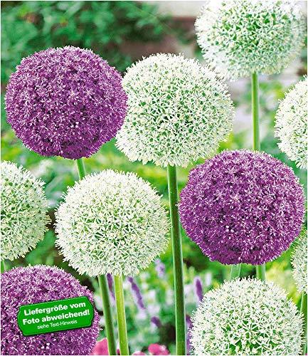 BALDUR-Garten Riesen-Allium-DUO Zierlauch Ambassador und Mount Everest,3 Zwiebeln
