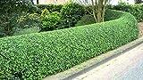 400 lingustrum Comune sinense ligustro arbustive/semi topiaria