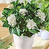 Gardenia jasminoides   Jasmin du Cap   Fleurs blanches parfumées   Plante d'intérieur fleurie   Hauteur 25-30cm   Pot Ø 13cm