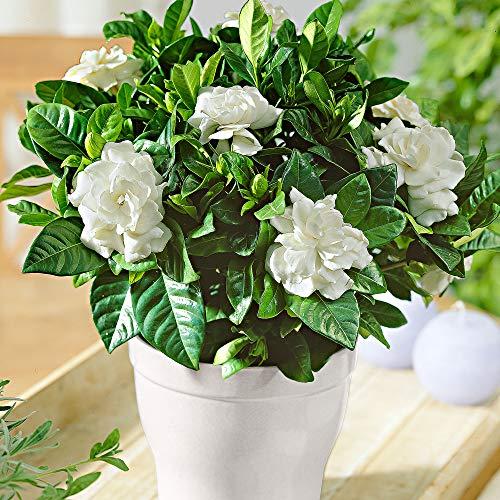 3x Gardenia jasminoides | Gardenien | Duftende weiße Blüten | Höhe 25-30 cm | Topf-Ø 13 cm