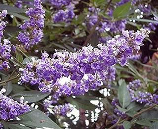 20SEEDS, LILAC CHASTE TREE Vitex Agnus castus