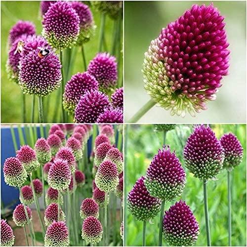 5 Stück Lila Allium Giganteum Zwiebeln Große blühende Herbst Allium Zwiebeln zum Pflanzen blühender Zwiebel Blühende mehrjährige Gartenblume