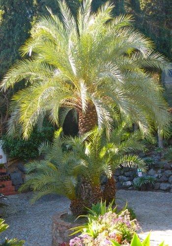 TROPICA - Kretische Dattelpalme (Phoenix theophrasti) - 10 Samen
