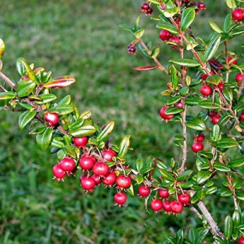 Benoon Ugni Molinae Semillas de fruta, 20 unidades de Semillas de fruta Ugni Molinae con sabor a fruta roja Ugni Molinae Semillas de frutas para patio trasero