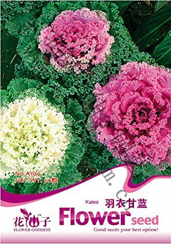 1 Original Pack, 30 Seeds/Pack, Brassica Oleracea Kales Garden patio Flower Goddess vegetable Seed #A109
