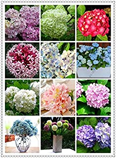 200pcs / semilla bolsa de hortensias, hortensias china, flor hortensia bonsai, el crecimiento natural para el jardín de su...