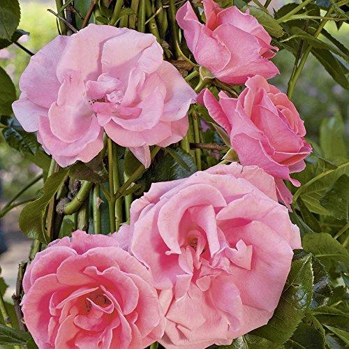 Kletterrose Lawinia in Rosa-Pink - Kletter-Rose winterhart & duftend - Pflanze für Rankhilfe wurzelnackt/Wurzelware von Garten Schlüter - Pflanzen in Top Qualität