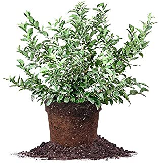Best 3 year blueberry plants Reviews
