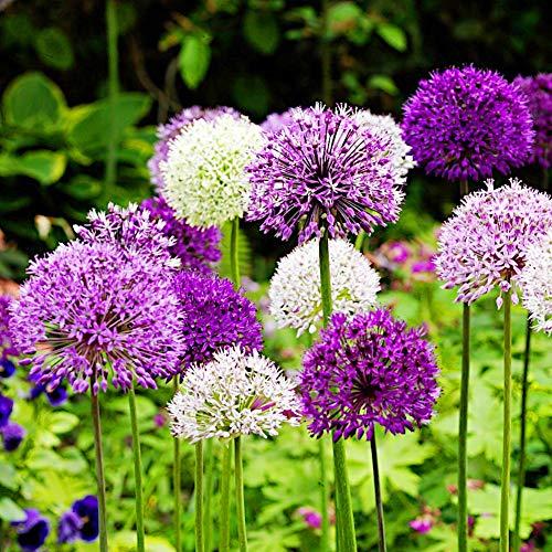 BULBi® Holland - Allium Zierlauch Frühlingsfeuerwerk Sammlung mit 50x Knollen! | Auf Amazon Lager | Purple Sensation, Globemaster, Nigrum, Sphaerocephalon, Mix | Bienenfreundlich