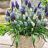 30x Muscari armeniacum | 30er Mix Traubenhyazinthen Zwiebeln | Blau-weiße Blüte | Blumenzwiebeln Mehrjährig Winterhart | Ø 6-7cm