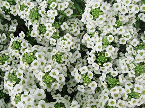 1000 Blanc Alyssum doux tapis de graines fleur de neige