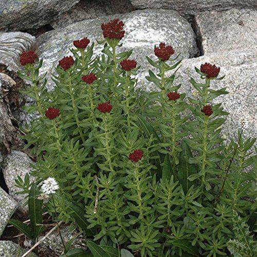 Asklepios-seeds® - 35 Samen Rhodiola integrifolia ssp atropurpurea, Rosenwurz