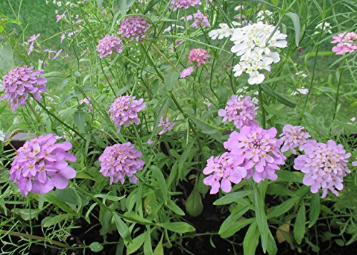 Iberis umbellata growing at my own garden : Candy Tuft (English Edition)