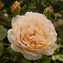 Own-Root One Gallon Golden Celebration David Austin Rose by Heirloom Roses