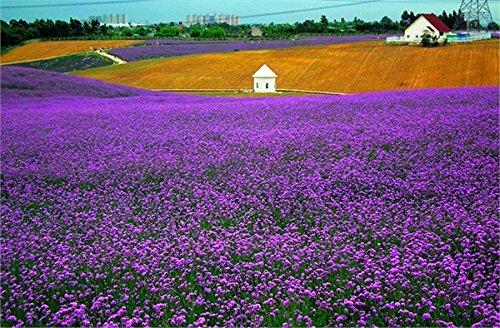 Français Provence Lavender Graines Plante en pot très parfumée 100 particules