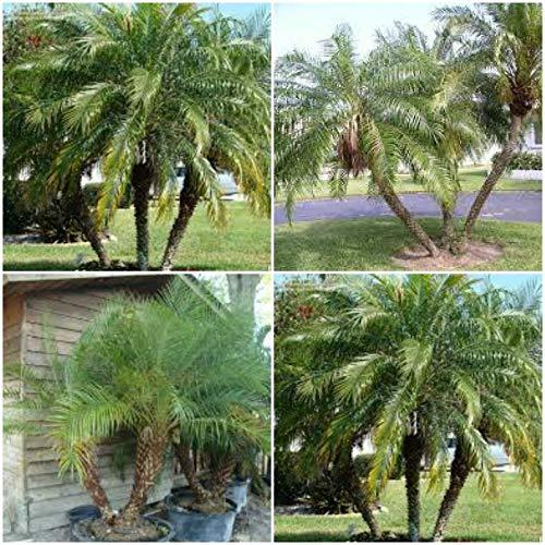 Cutdek 4 Robellini Live Palms~Phoenix roebelenii~Pygmy Date Palm Rooted Starter Plants