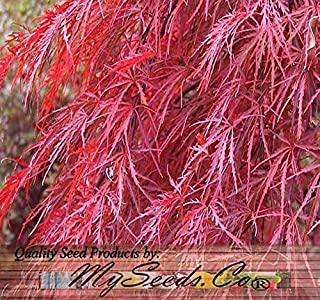 Burgundy Lace, Green Lace Leaf, Red Lace Leaf, Japanese Red Maple Seeds - Acer palmatum matsumurae Seeds - by MySeeds.Co (Red Lace Leaf - 10 Seeds)