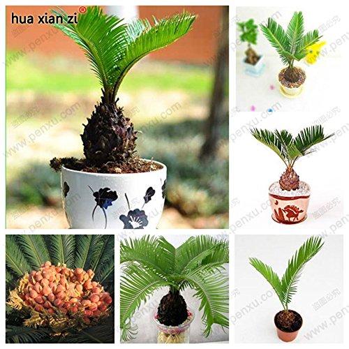semences en vrac cycas en pot, les plantes à feuillage purifier l'cycads d'air arbre 100% vraie semence, un pcs/sac