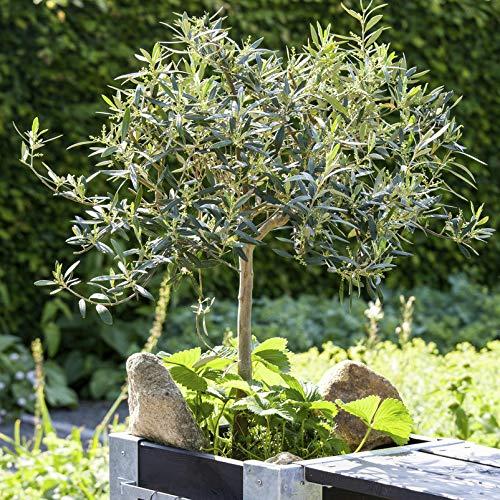 Kölle echter Olivenbaum, Olea europaea \'Stamm\', Topf 21 cm, Höhe ca. 100 cm