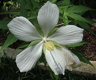 White Texas Star Hibiscus Rose Mallow Heirloom Perennial Flower Garden 15 Seeds