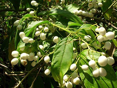 Cestrum Nocturnum (Noche Jasmine) 25 semillas