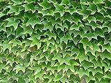 50 Seeds Parthenocissus Tricuspidata Seeds, Boston Ivy Seeds