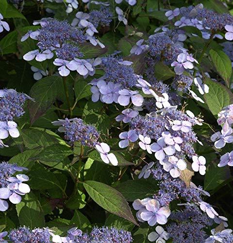 Teller Hortensie Blue Deckle 60-80cm -...