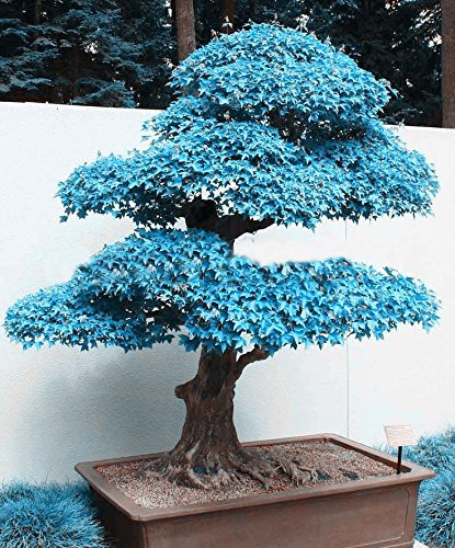 Big Sales 100pcs Blue Maple Seeds Chinese Rare Blue Bonsai Maple Tree Seeds Plants Trees for Flower Pot planters