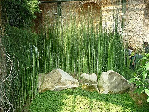 Ferry 6 x Schachtelhalm Reed Teichpflanzen Blick Zen-Garten