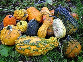 Lunch Lady Gourd 20 Seeds - Wild Mix of Gourds! by Hirts: Seed; Gourd