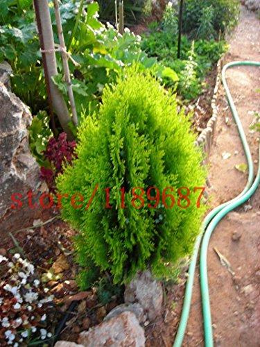 1bag = 50 PC semillas de ciprés bonsai mini-árboles bonsai Cypress Platycladus orientalis semillas arborvitae oriental