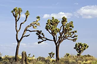 Yucca Brevifolia Joshua Tree, 10 Seeds by Seeds2Go