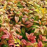 Cottage Hill 1 Piece Nandina 'Firepower' Evergreen Plant, 3 Quart Trade Gallon pot
