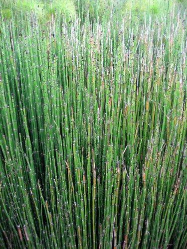 WFW wasserflora Winterschachtelhalm/Equisetum hyemale VAR. Japonicum (Equisitum) im 9x9 cm Topf