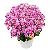 胡蝶蘭 ギフト 蘭千世界 13号鉢 20本立 ピンク/ラッピング&メッセージ無料花のプレゼント 開店祝いに 母の日